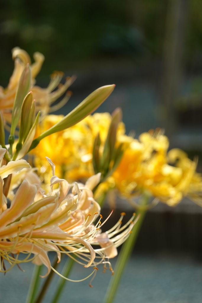 鎮国寺の彼岸花