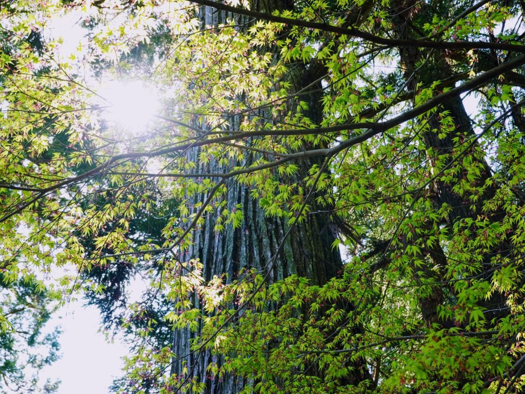 八幡西区市瀬の鷹見神社の巨木