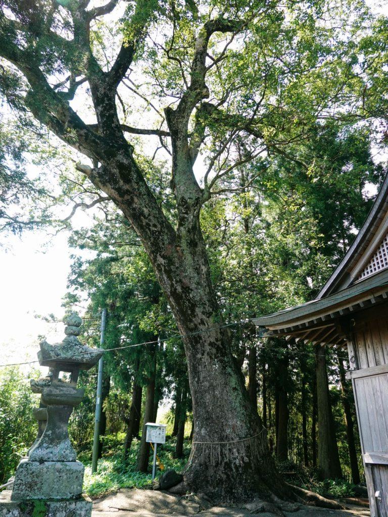 臼杵神社の御神木